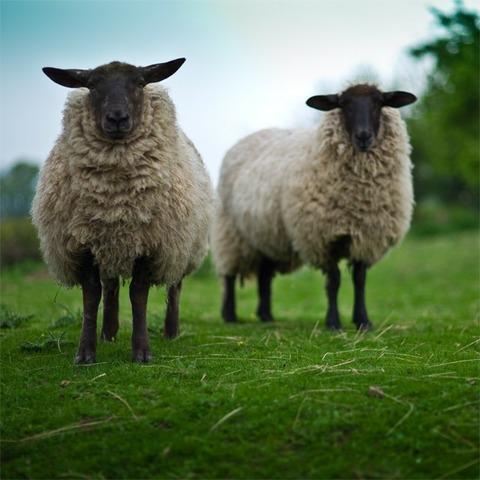 今年も山羊除草します!